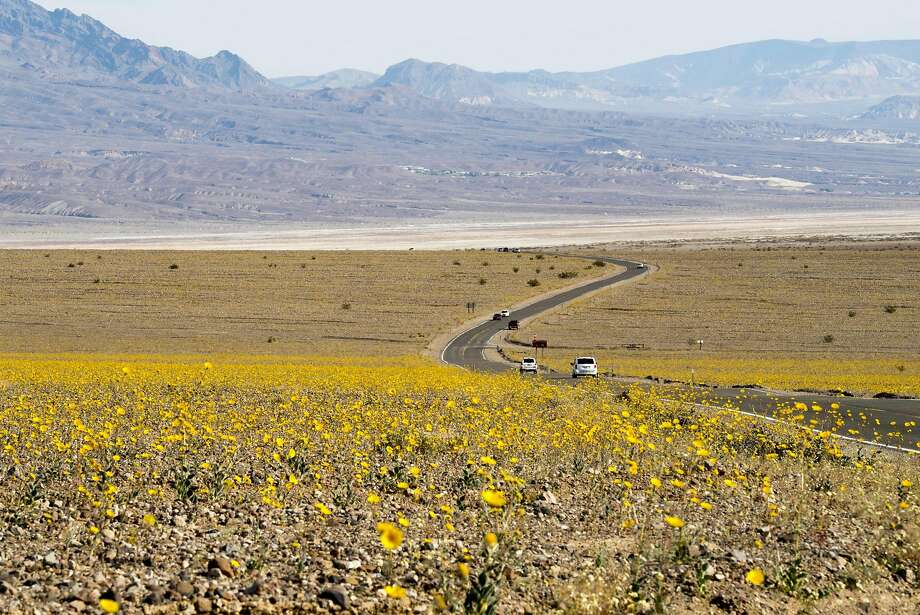 "Yellow wildflowers line the highway through Death Valley National Park, in Death Valley, California, March 4, 2016. Unusally heavy rainfall in October trigged a ""super bloom,"" carpeting Death Valley National Park, the hottest and driest place in North America, in gold, purple, white and pink. The bloom is the parks largest in a decade. / AFP / ROBYN BECKROBYN BECK/AFP/Getty Images Photo: ROBYN BECK, AFP/Getty Images"