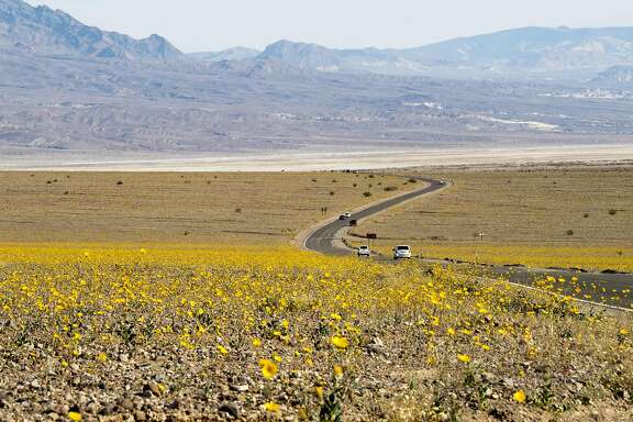 "Yellow wildflowers line the highway through Death Valley National Park, in Death Valley, California, March 4, 2016.  Unusally heavy rainfall in October trigged a ""super bloom,"" carpeting Death Valley National Park, the hottest and driest place in North America, in gold, purple, white and pink. The bloom is the parks largest in a decade. / AFP / ROBYN BECKROBYN BECK/AFP/Getty Images"