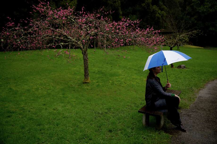 A Japanese cherry tree ignites the landscape with early blossoms at the Seattle Japanese Garden's First Viewing, Sunday, Mar. 6, 2016. Photo: GRANT HINDSLEY, SEATTLEPI.COM / SEATTLEPI.COM