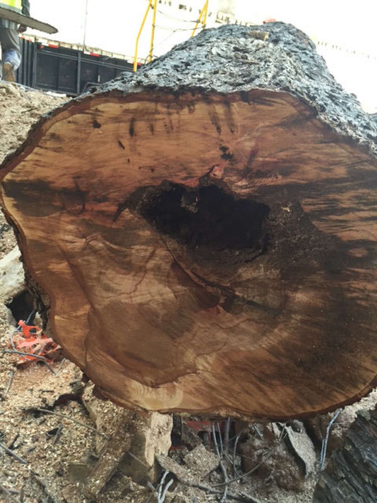 A portion of a damaged 100-year-old pecan tree near downtown's Lancaster Hotel that was recently cut down.