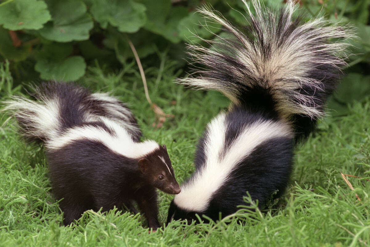 Two young female skunks who were rescued are now being raised and rehabilitated for release by a volunteer. They are able to play outside of their cages on a daily basis. (Photo by Carolyn Cole/Los Angeles Times via Getty Images)