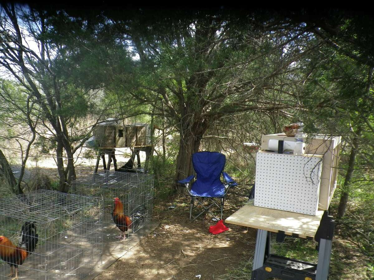 Bastrop County deputies seized about 130 roosters from a property believed to have been a cockfighting ring in Paige, Texas at 1673 FM 2104 on March 6, 2016.
