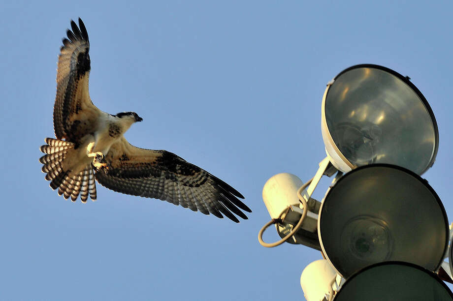 An osprey comes in for a landing on the stadium lights above Cubeta Stadium in Scalzi Park in Stamford, Conn., on Monday, Aug. 24, 2015. Photo: Jason Rearick / Hearst Connecticut Media / Stamford Advocate