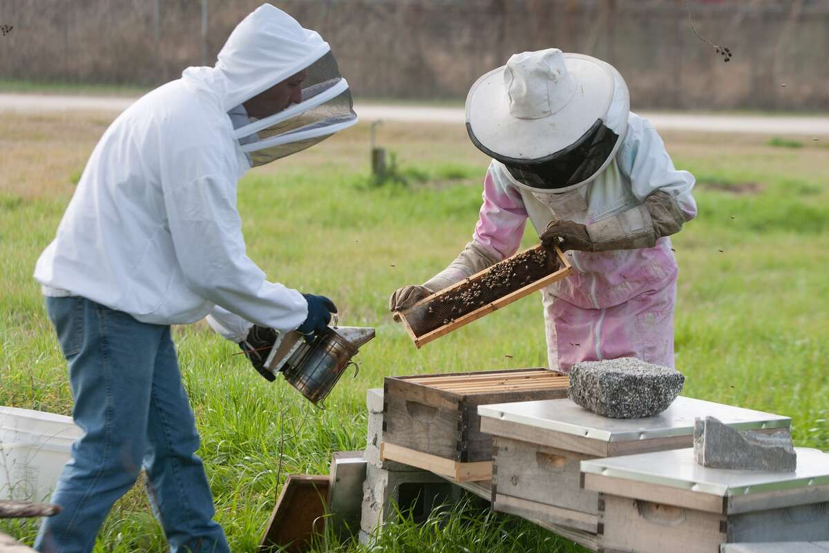 Lamar High School's FFA chapter president Kathleen Young, left, and her father Aaron Young check a beehive at the FFA compound. The FFA chapter is raising bees to sell the honey at the FFA livestock show and auction on April 22-23.