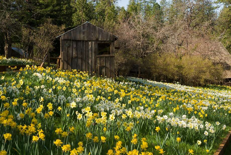 Daffodil Hill at McLaughlin Ranch in Volcano draws thousands of visitors when plants are in bloom, beginning in mid-March. Photo: McLaughlin Ranch