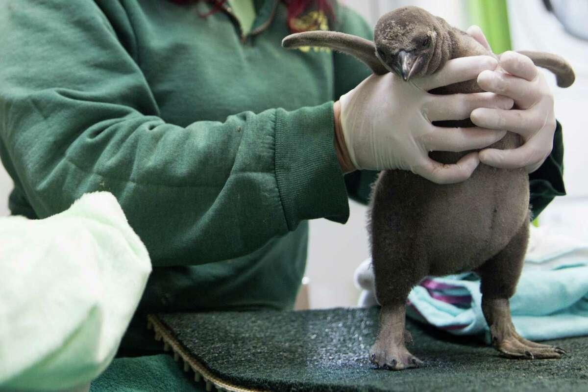 Woodland Park Zoo's new baby Humboldt penguin is shown off.
