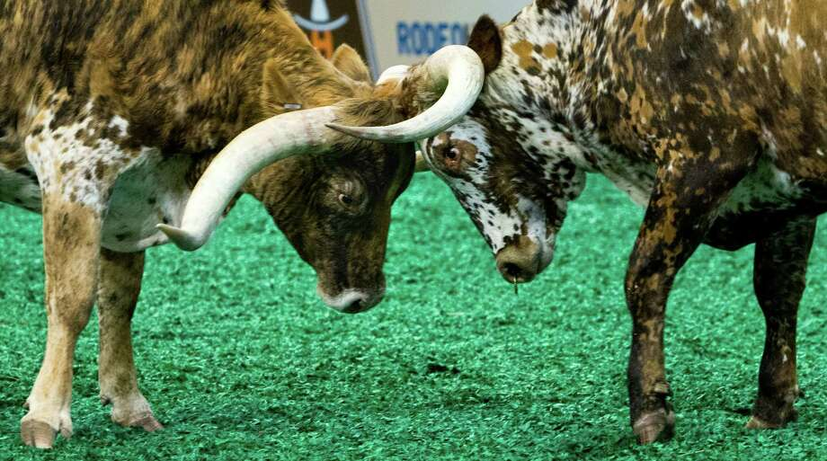 Awww Dude (right) locks horns with another longhorn during an unhaltered show at the Houston Livestock Show and Rodeo. Photo: Brett Coomer Brett Coomer, Houston Chronicle / © 2016 Houston Chronicle