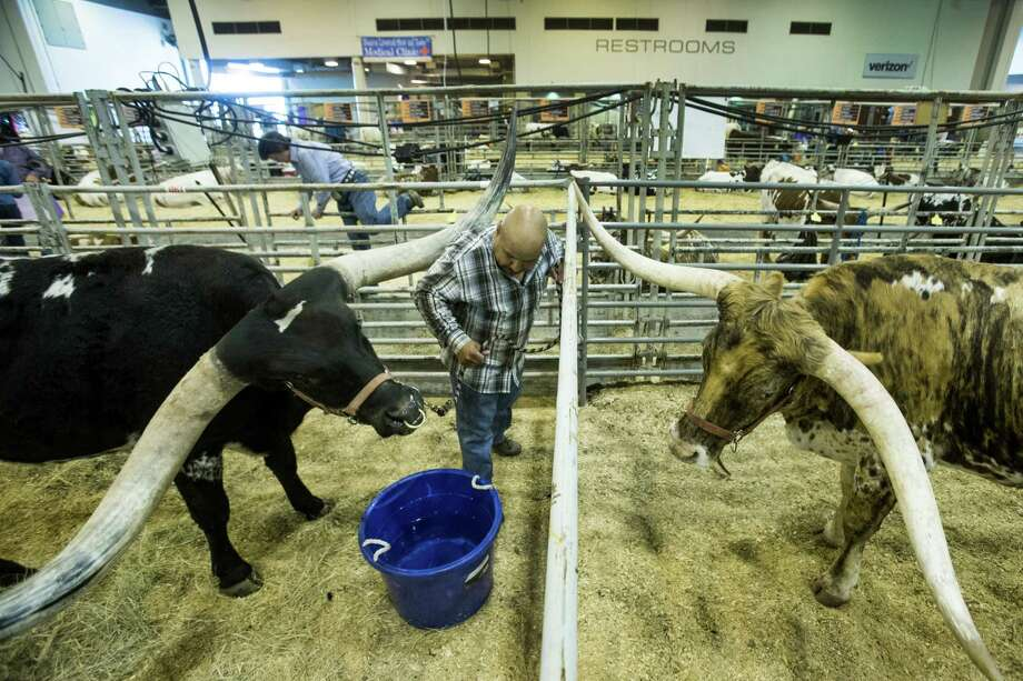 Jesse Rivera, of Red Oak, Texas, leads his longhorn, JTW Bill Gunn, to a bucket of water before showing him at the Houston Livestock Show and Rodeo. Photo: Brett Coomer Brett Coomer, Houston Chronicle / © 2016 Houston Chronicle