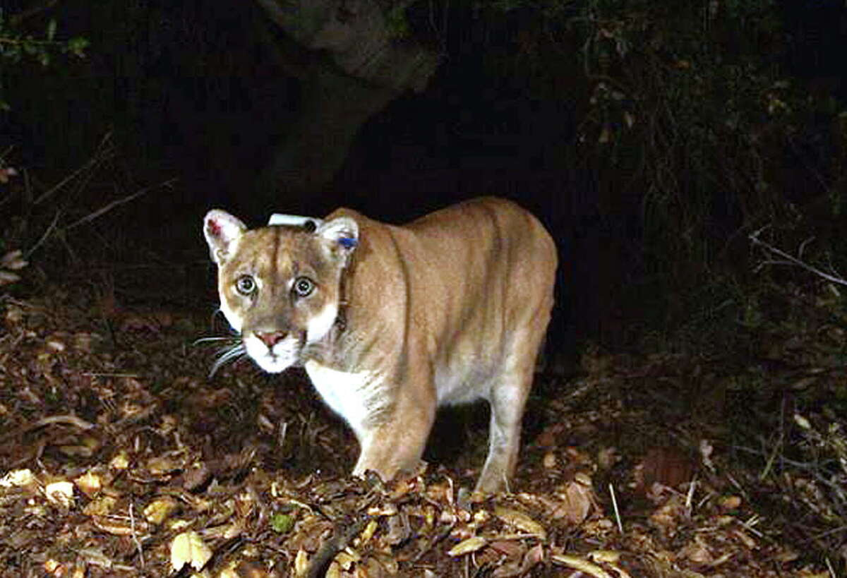 FILE - This Nov. 2014 file photo provided by the National Park Service shows the Griffith Park mountain lion known as P-22. Officials believe P-22, the wild mountain lion that prowls Griffith Park in Los Angeles, made a meal of a koala found mauled to death at the LA Zoo. The zoo's director, said this week that workers found the koala's body outside its pen March 3. (National Park Service, via AP, File) ORG XMIT: LA105