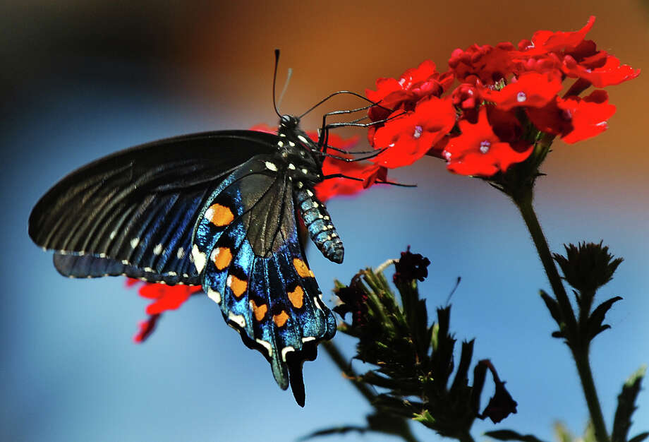 This beautiful swallowtail butterfly began its life as a foliage-eating caterpillar. Photo: Associated Press File Photo / ABQ JOURNAL