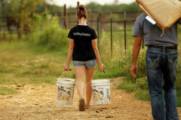 ALL IN A DAY'S WORK Above, Bailey Carwile, 16, leads steer Cupid before the competion in Fort Worth. Below, Bailey and her dad, David Carwile, carry feed across their Montgomery property. They have a barn filled with steers and must decide which two will go to the Houston Livestock Show and Rodeo.