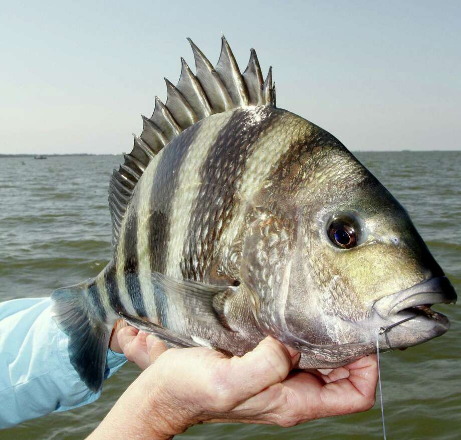 "Anglers fishing around jetties and other ""hard"" structure in lower reaches of Galveston Bay and other bay systems  are enjoying excellent catches of sheepshead, and the good fishing should continue through March. Photo: Shannon Tompkins"