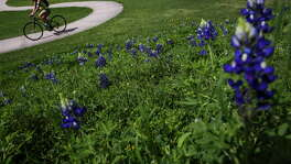 A biker rides past a small field of bluebonnets at Spotts Park Saturday, March 12, 2016 in Houston.