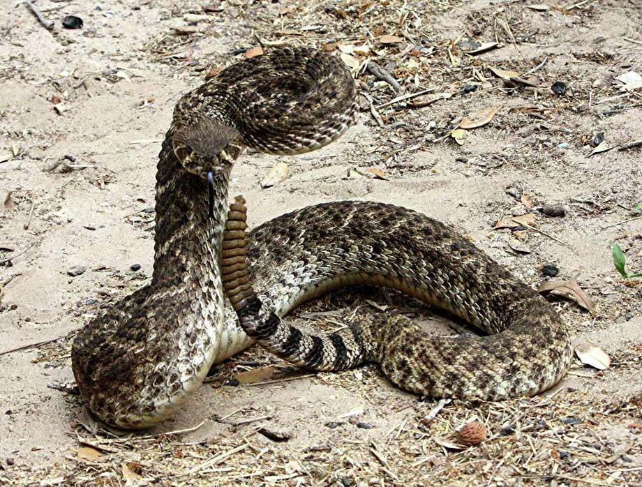 Statewide, western diamondbacks account for the majority of snakebites, a function of the species having the widest distribution of Texas' venomous snakes.Keep clicking to learn more facts about snakes in Texas. Photo: Blaine Eaton