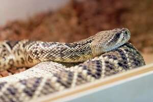 An eastern diamondback rattlesnake rests at the Texas Rattlesnake Festival in Conroe Sunday.
