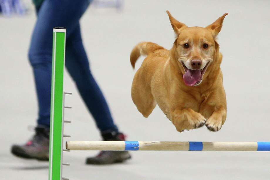 Lilly the Labrador runs through the agility course during the Seattle Kennel Club Dog Show, Sunday, March 13, 2016. The show featured 1,400 dogs and 169 different breeds. Photo: GENNA MARTIN, SEATTLEPI.COM / SEATTLEPI.COM