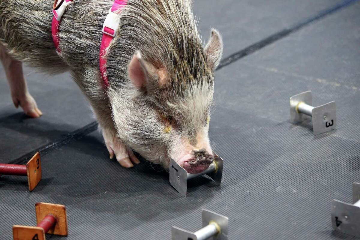 Mini pig Amy Trotter performs, for her second year, in the obedience competition of the Seattle Kennel Club Dog Show, Sunday, March 13, 2016.
