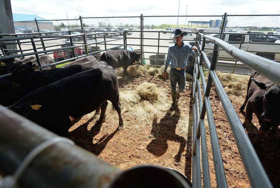Charlie Edwards walks through pens to water and feed cows in preparation for the Independent Cattleman of Southeast Texas auction. The Auction will begin on Saturday at Ford Park. Photo taken Friday, March 11, 2016 Guiseppe Barranco/The Enterprise Photo: Guiseppe Barranco, Photo Editor