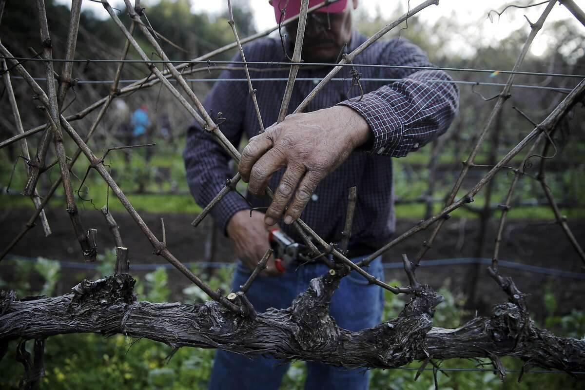 Chuy Ordaz, owner of Palo Alto Vineyard Management helps with some pruning work on a vineyard he manages in Jack London State Historic Park in Glen Ellen, Calif., on Tuesday, February 23, 2016,