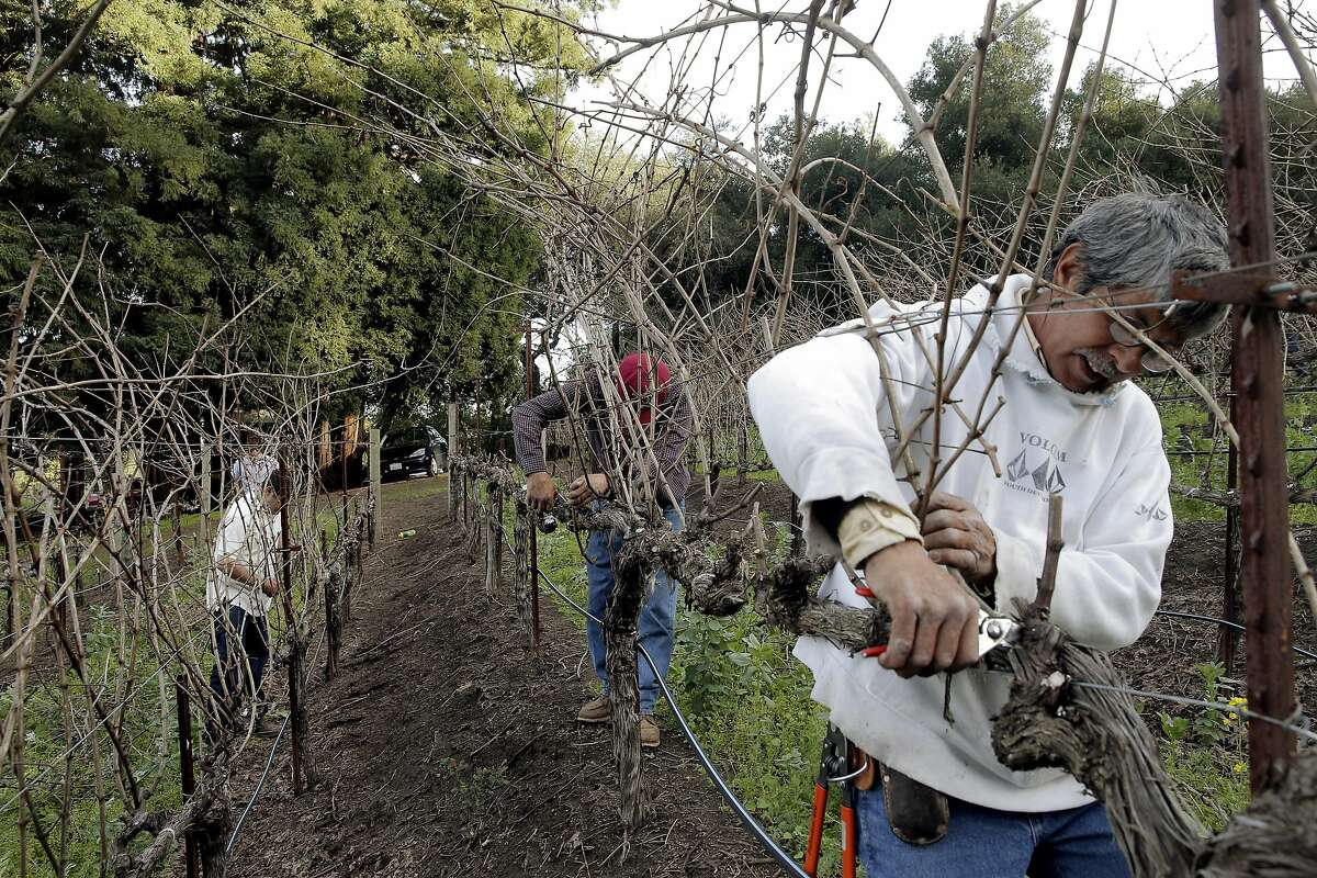 Jose Ordaz, right, helps his brother Chuy Ordaz, owner of Palo Alto Vineyard Management, do some pruning on a vineyard the company manages in Jack London State Historic Park in Glen Ellen, Calif., on Tuesday, February 23, 2016,