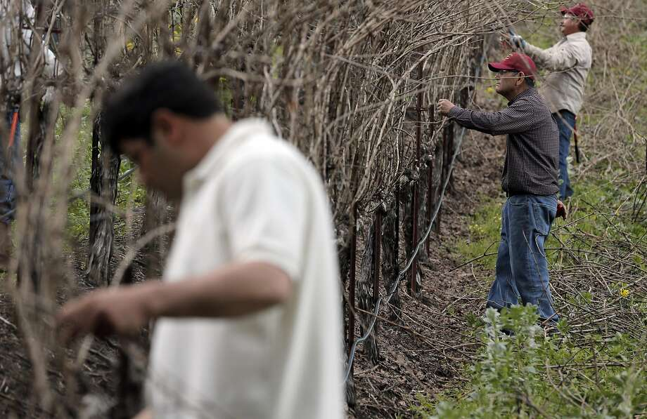 Chuy Ordaz (middle), owner of Palo Alto Vineyard Management, checks pruning work on a vineyard he manages in Glen Ellen. Photo: Carlos Avila Gonzalez, The Chronicle