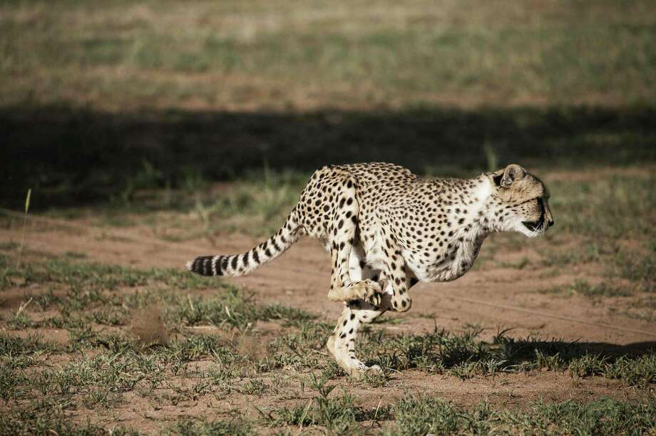 A captive cheetah runs in an enclosure at the Cheetah Conservation Fund in Otjiwarongo, Namibia, where the species' complete genome has been sequenced. Photo: Gianluigi Guercia /AFP / Getty Images / AFP or licensors