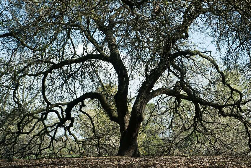 The arboretum at UC Davis has a section just for oak trees.