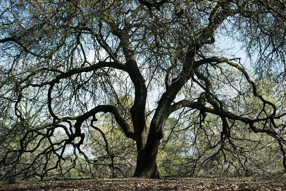 The arboretum at UC Davis has a section just for oak trees. Photo: James Tensuan, Special To The Chronicle