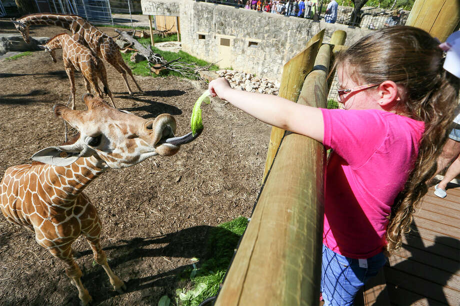 Elizabeth Costley, 6, feeds a leaf of romaine lettuce to Braxton, a 3 1/2-year-old reticulated giraffe, from the new giraffe feeding station in the African Savanna exhibit at the San Antonio Zoo on Monday, March 14, 2016.  MARVIN PFEIFFER/ mpfeiffer@express-news.net Photo: Marvin Pfeiffer, Staff / San Antonio Express-News / Express-News 2016