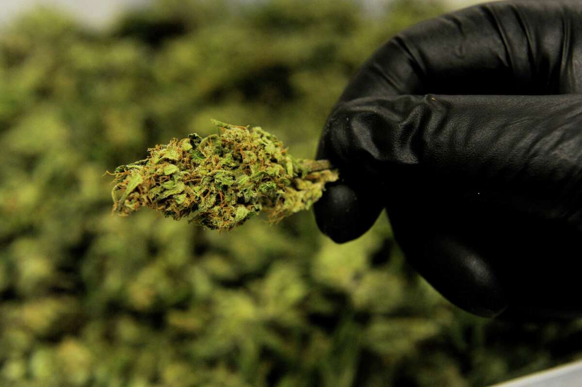 An employee displays trimmed bud from a high-CBD hemp strain at Ambary Gardens in Kittredge, Colorado, on March 9, 2016. Arvada, Colorado, has approved a hemp-growing operation for cultivation of CBD oil, a surprising move as Arvada has declined to license recreational or medical marijuana shops.