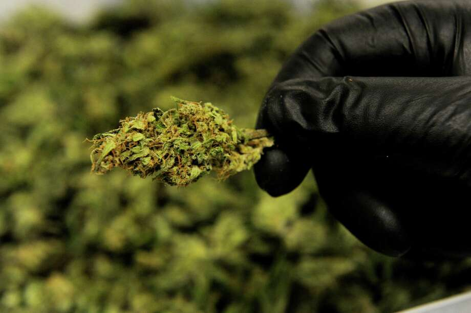 An employee displays trimmed bud from a high-CBD hemp strain at Ambary Gardens in Kittredge, Colorado, on March 9, 2016. Arvada, Colorado, has approved a hemp-growing operation for cultivation of CBD oil, a surprising move as Arvada has declined to license recreational or medical marijuana shops. Photo: Seth McConnell, Getty Images / Copyright - 2016 The Denver Post, MediaNews Group.