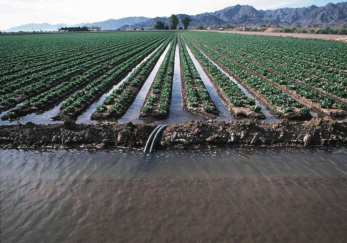 Siphon tubes are used to irrigate Romaine lettuce. More efficient irrigation technology can help California farmers conserve water.