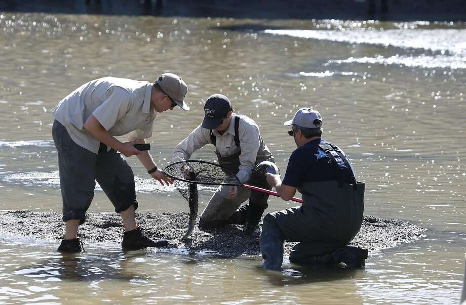 Volunteers capture a lamprey from Alameda Creek in Fremont, Calif. on Tuesday, March 15, 2016. Biologists with the East Bay Regional Parks District and the Alameda Creek Alliance were hoping to snare steelhead salmon, unable to move beyond what's known as the BART weir and transport them upstream, but netted a number of Pacific lamprey instead. Photo: Paul Chinn, The Chronicle
