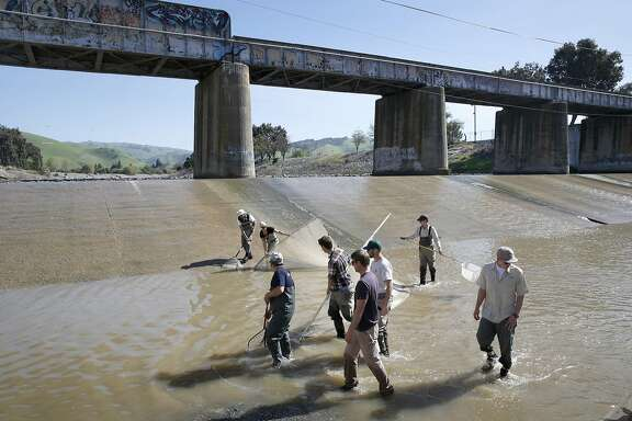Volunteers drag a net across Alameda Creek hoping to capture steelhead in Fremont, Calif. on Tuesday, March 15, 2016. Biologists with the East Bay Regional Parks District and the Alameda Creek Alliance were hoping to snare steelhead salmon, unable to move beyond what's known as the BART weir and transport them upstream, but netted a number of Pacific lamprey instead.