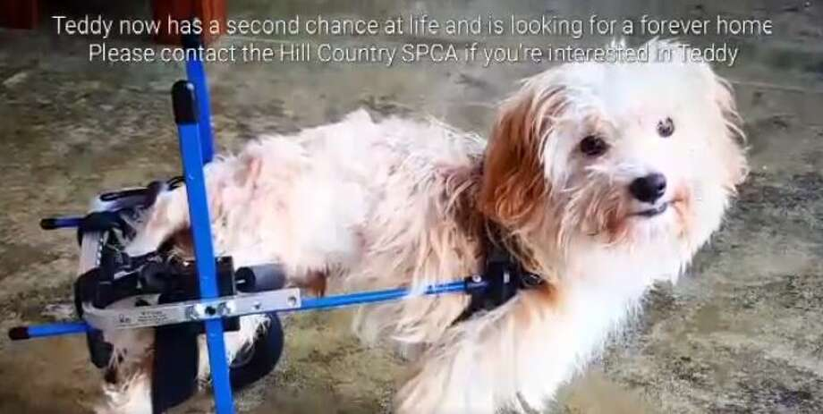 Teddy, a 5-month-old mix breed dog at Hill Country SPCA, needs a forever home after acquiring his very own doggie wheelchair.