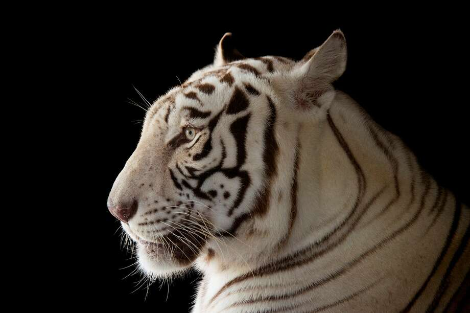 "The speakers include Joel Sartore, who took this portrait of a male white Bengal tiger for his ""Photo Ark"" series of rare animals. Their photographs are on view at Spring Street Studios through  April 24. Photo: Courtesy Of The Artist And National Geographic"