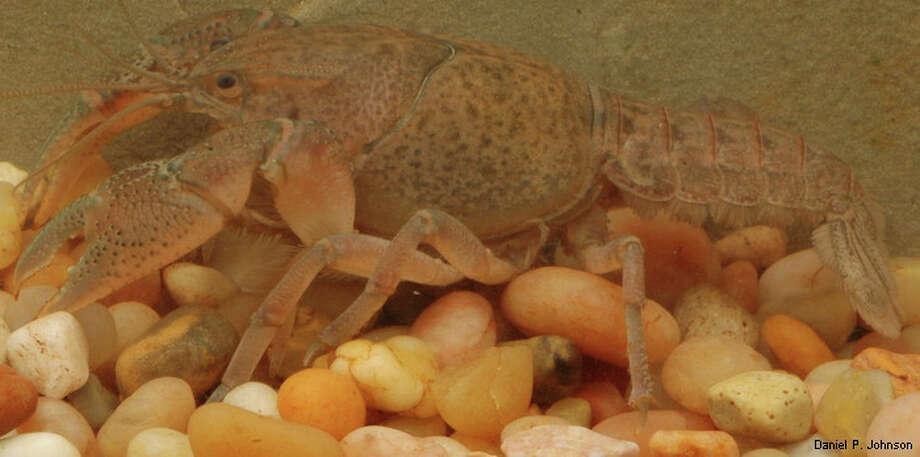 Fallicambarus kountzeae, common name Big Thicket Burrowing Crayfish Photo: Dan Johnson / Dan Johnson