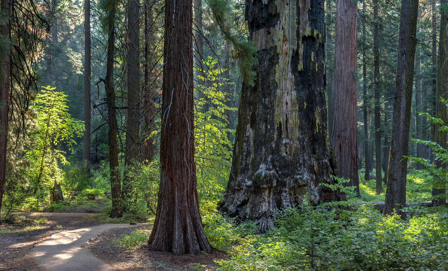 Calaveras Big Trees State Park is less famous than Yosemite National Park's Mariposa Grove or Sequoia's General Grant Grove.