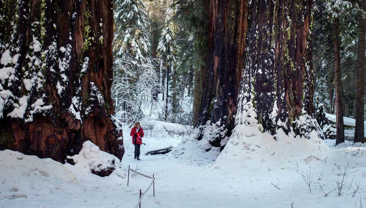 A visitor, left, walks among the redwoods in Calaveras Big Trees State Park in winter. A dogwood, top, blooms in spring. A tunnel, above, was cut through the Pioneer Cabin Tree in the 1880s. Redwoods were introduced to the Western world and Europe from this forest.