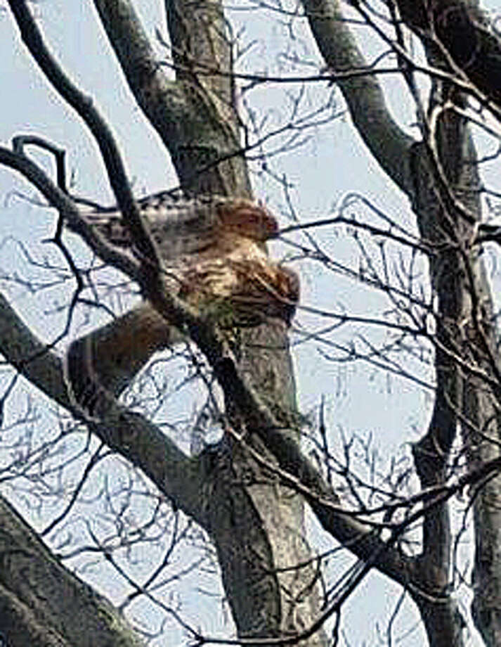 Officials have been receiving numerous calls about hawks attacking people in the Mill Plain Road area. This hawk was in a tree on Sycamore Lane. Photo: Contributed Photo / Hearst Connecticut Media / Fairfield Citizen contributed