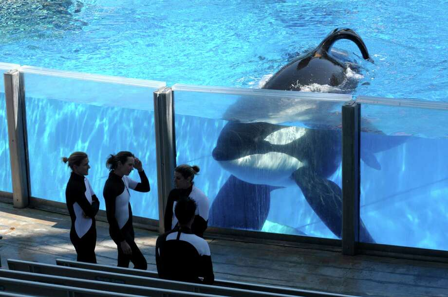 FILE - In this Monday, March 7, 2011, file photo, killer whale Tilikum, right, watches as SeaWorld Orlando trainers take a break during a training session at the theme park's Shamu Stadium in Orlando, Fla. SeaWorld is ending its practice of killer whale breeding following years of controversy over keeping orcas in captivity. The company announced Thursday, March 17, 2016, that the breeding program will end immediately. Photo: Phelan M. Ebenhack /AP / FR121174 AP