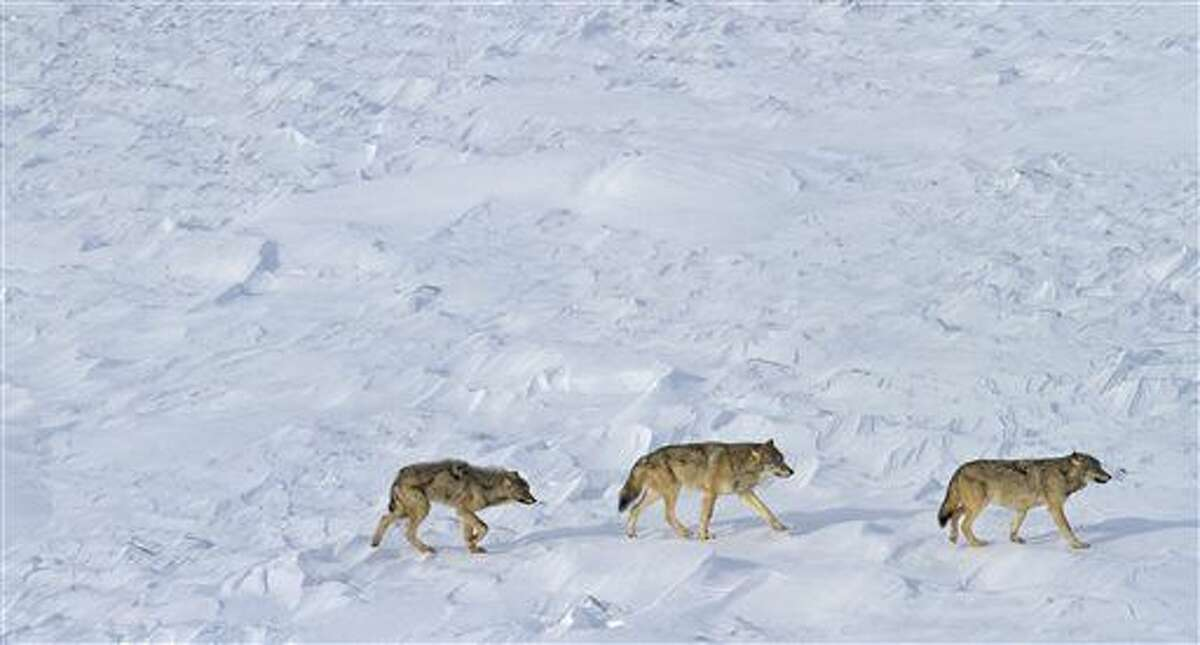 This Feb. 15, 2015 photo released by Michigan Technological University shows the last three wolves known to live at Isle Royale National Park in Lake Superior. A group of scientists are taking issue with colleagues who want the federal government to remove gray wolves in the Great Lakes region from the endangered species list. (Rolf Peterson/Michigan Technological University via AP)