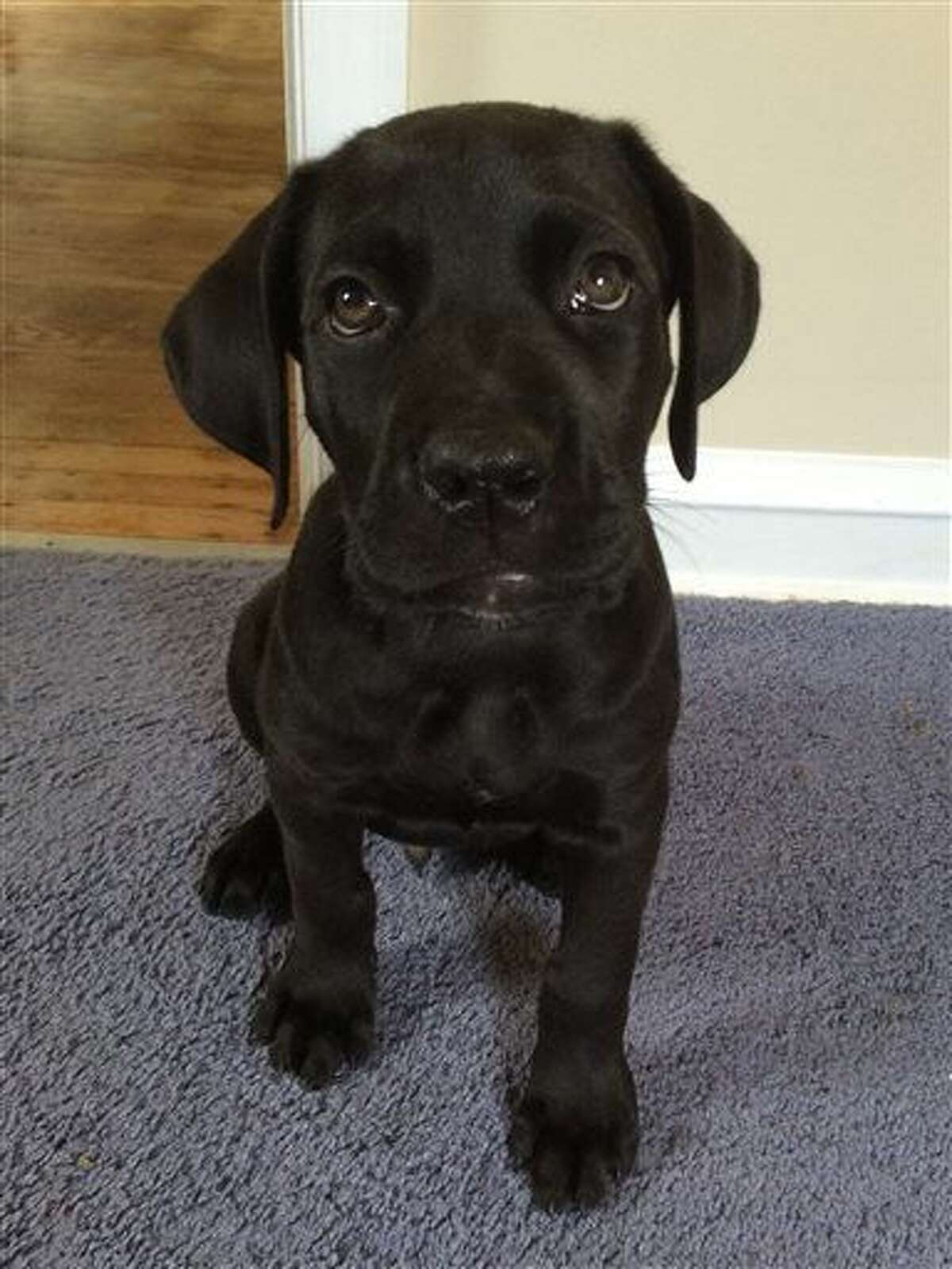 This photo provided by Michael Ehrlich shows his 6-month-old Cane Coro named Jasper at home in Philadelphia. The puppy swallowed two large plastic balls, which remained lodged in his stomach probably for a few weeks, according to Ehrlich. They were surgically retrieved on Saturday, Dec. 26, 2015, and within a few days Jasper was already back on his feet. (Michael Ehrlich via AP)