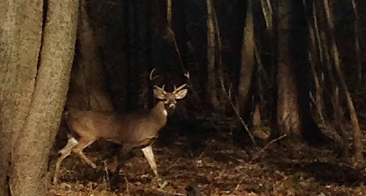 This was one of a few bucks spotted at Shiawassee National Wildlife Refuge by a bowhunter on Sunday afternoon.