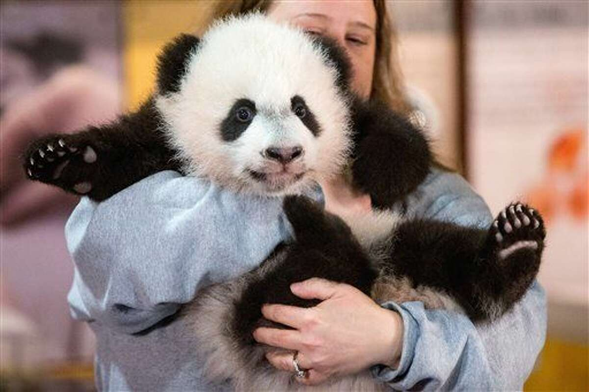 In this photo taken Dec. 14, 2015, animal keeper Nicole MacCorkle holds Bei Bei, the National Zoo's newest panda and offspring of Mei Xiang and Tian Tian, for members of the media at the National Zoo in Washington. The youngest giant panda cub at the National Zoo is ready for his close-up. Bei Bei will make his public debut on Jan. 16. During an audience with a small news media contingent Monday, he was so relaxed that he fell asleep and drooled on an examination table. At nearly 4 months old, Bei Bei weighs more than 17 pounds and is gaining about a pound a week. He's bigger than his older siblings were at the same age. (AP Photo/Andrew Harnik)
