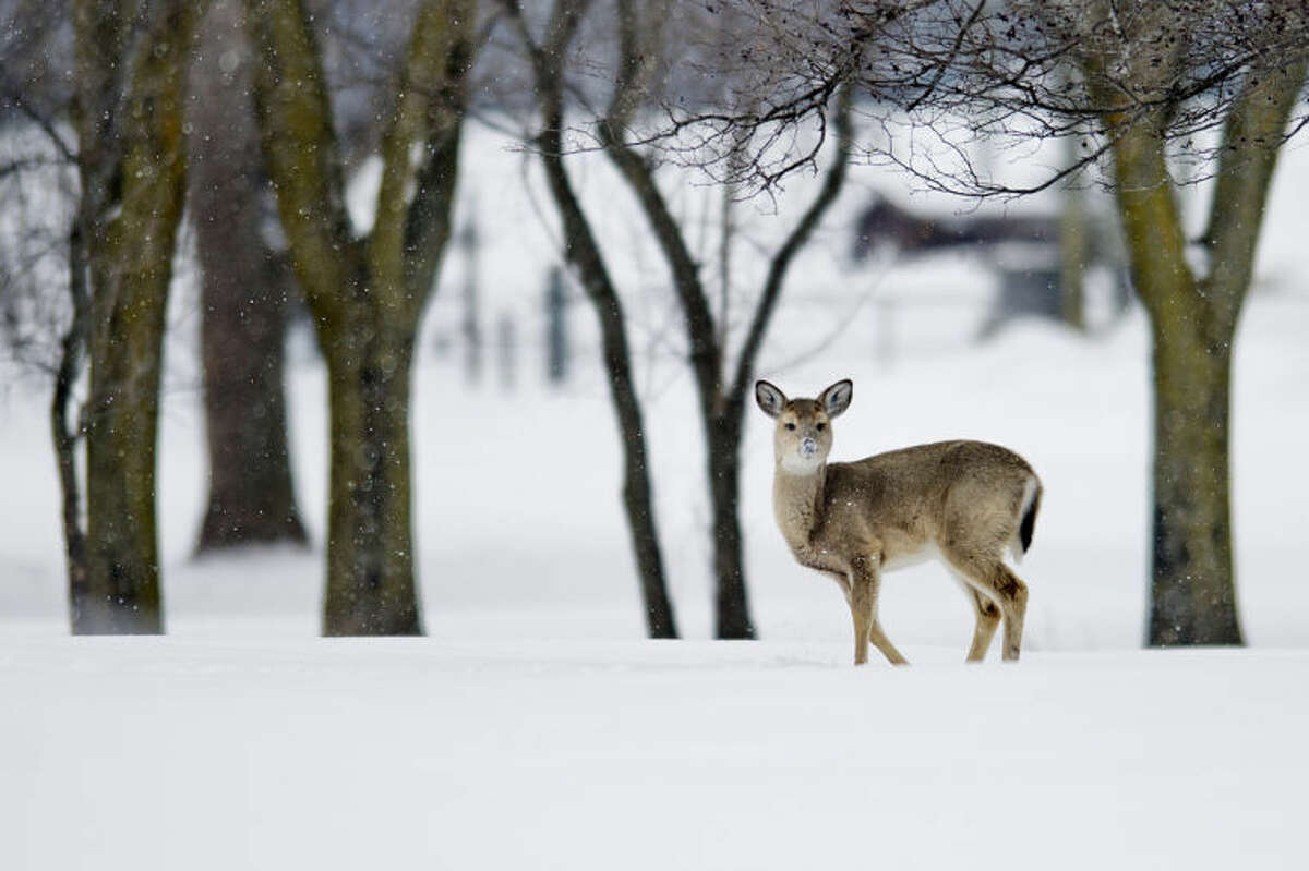A deer looks up, snout covered in snow, while foraging in a field off Poseyville Road in Midland in this file photo. The firearm deer hunting season opens Sunday.