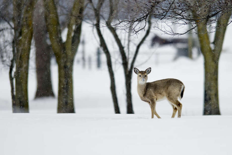 A deer looks up, snout covered in snow, while foraging in a field off Poseyville Road in Midland in this file photo. The firearm deer hunting season opens Sunday. Photo: Nick King | Midland  Daily News File Photo