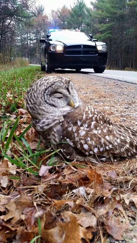 This image of an owl was provided by the Midland Police Department.
