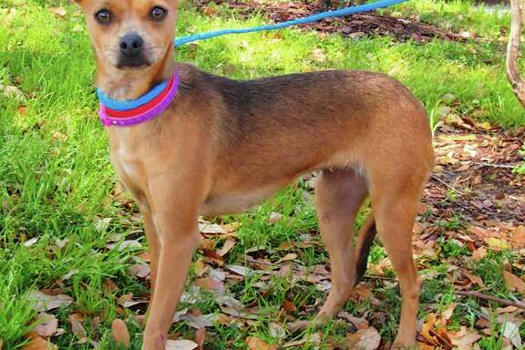 Patty will be available for adoption at 11 a.m. Friday at Citizens for Animal Protection, 17555 Interstate 10 W. More information: cap4pets.org or 281-497-0591.
