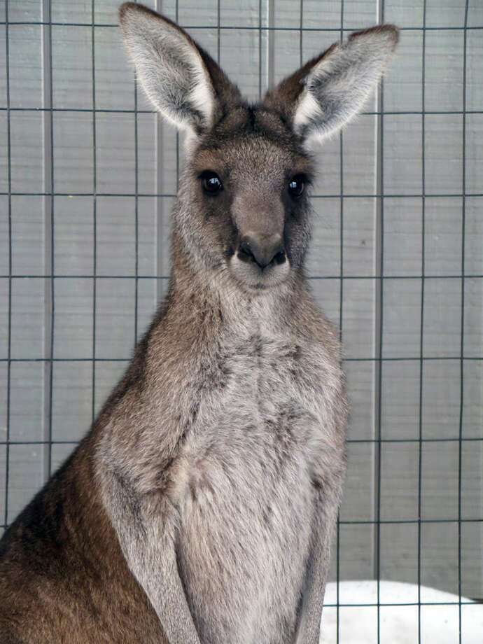Andre is a 2-year-old male kangaroo from the Fort Wayne Children's Zoo in Indiana. Photo: Photo Provided